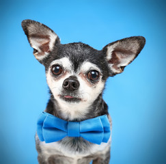 cute chihuahua with a bow tie on isolated on a blue background