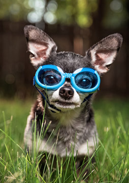 cute chihuahua wearing goggles sitting on the lawn in very tall grass in backyard
