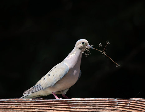 single pigeon with a twig in its beak for building a nest