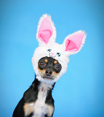 cute chihuahua with a rabbit ear hat on  isolated on a blue background