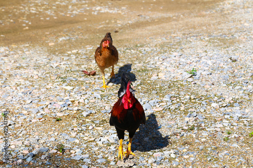 Rhode Island Red rooster flying, isolated on white