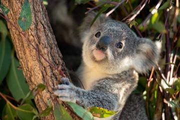 Koala joey looks for eucalyptus leaves to eat