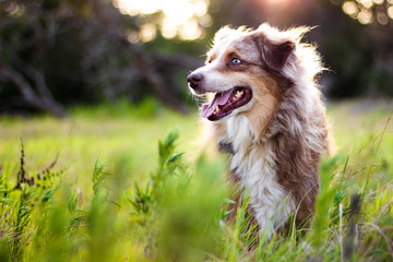 Australian Shepherd in Tall Grass Wall mural
