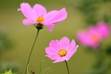 ピンク色のコスモス
