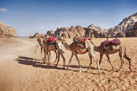 Three Camel Caravan