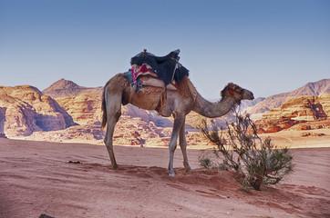One Camel In Desert