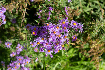 Small vibrant purple flowers with orange centers on a sunny fall day