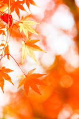 Red maple leaf, autumn sunset, tree blurred bokeh background, Japan