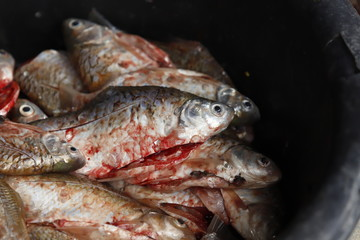 Cleaning and filleting a fresh fish.