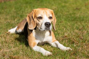 Beagle dog lying in the garden