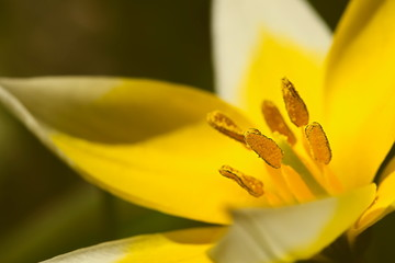 Single yellow blossom of Tulip tarda detailed closeup with pistils and stamen