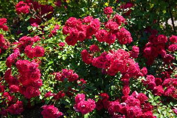 薔薇 岩見沢バラ園