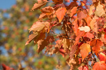 Autumn red foliage on the branches of young maples.