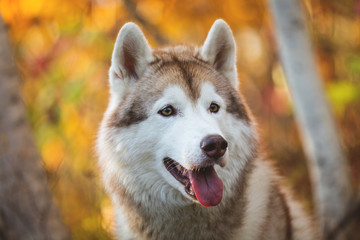 Close-up Portrait of cute Beige and white dog breed Siberian Husky posing in fall season on a bright forest background.