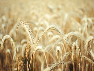 spikelets of wheat in the yellow field.