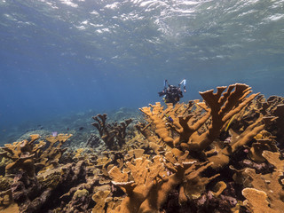Seascape of coral reef in the Caribbean Sea around Curacao at dive site Barracuda Point with elk horn coral and blue background