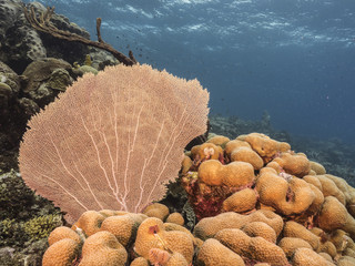 Seascape of coral reef in the Caribbean Sea around Curacao at dive site Barracuda Point with various corals and sea fan