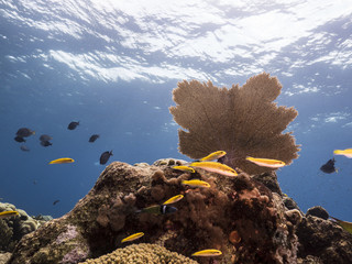 Seascape of coral reef in the Caribbean Sea around Curacao at dive site Barracuda Point with sea fan and view to surface
