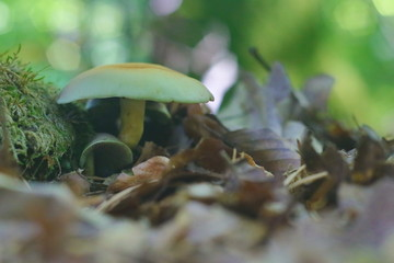 Closeup of forest mushrooms on green forest floor