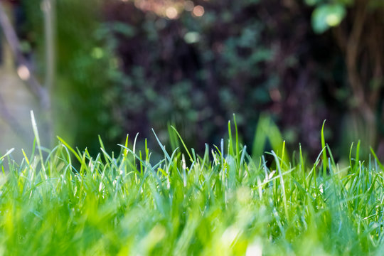 Grass in the garden, in sunlight. Closeup of a green lawn. Wet grass in the morning light. Close up macro of green grass field. Grass texture, with selective focus blur and background bokeh.
