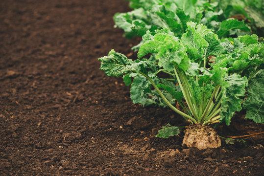 Sugar beet root crop organically grown
