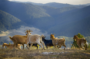 Wild Goats in Mountains