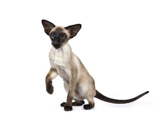 Excellent seal point Siamese cat kitten sitting / playing standing side ways / front view  looking besidelense, isolated on white background and one paw liftes in air