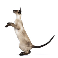 Excellent seal point Siamese cat kitten sitting standing side ways profile on hind paws looking straight ahead, isolated on white background