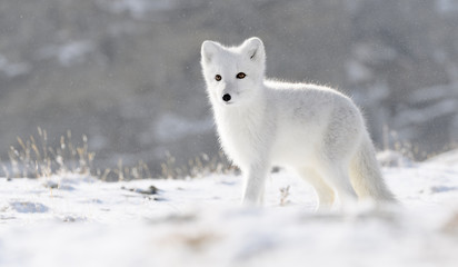 Arctic fox cub (Vulpes lagopus) in autumn snow in Dovre mountains, Norway Wall mural