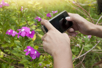 Hand of women take photo by smartphone to pink flower in the garden.