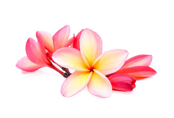 frangipani (plumeria) isolated on white background
