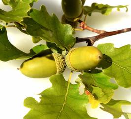 Eicheln, Stieleiche, Quercus, robur