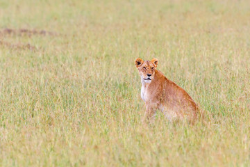 Lion sitting on the grass of the savannah and watching