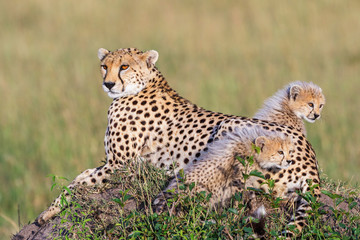 Cheetah cubs with their mother on the African savanna