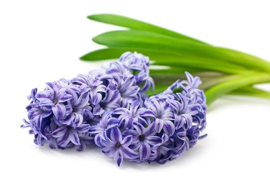 Blue hyacinth isolated on white