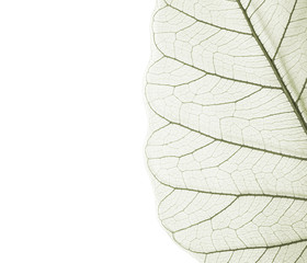 Bo leaf texture, Close Up detail of Bodhi leaf on white background