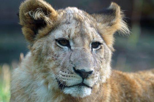 Lionceau en gros plan avec un regard triste