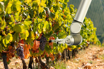 Wall Mural - The robot arm is working in the vineyard. Smart farming and digital agriculture.