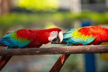 colorful macaw parrots eating from feeders prepared for them. outside photo.