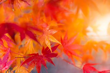 Closeup beautiful red maple leaf background