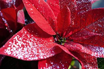 Roter Weihnachtsstern mit Glitzer, Christstern, Poinsettie, Euphorbia pulcherrima, Weihnachten, xmas