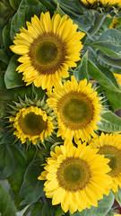 Sonnenblumen, Garten, Gartenarbeit