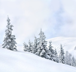 Winter landscape of mountains with of fir forest and glade in snow. Carpathian mountains