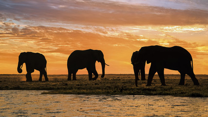 Elephants at sunset at the banks of Chobe river, Botswana