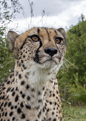 UK, Hamerton Zoo - 17 Aug 2018: Cheetah in captivity, portrait