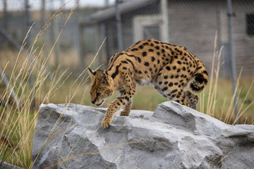 Female Serval in captivity plays at hunting with her keeper Wall mural