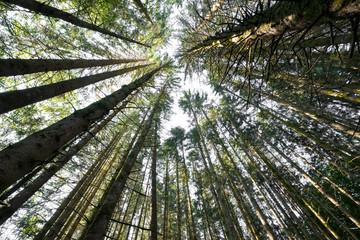 sapin tronc arbre forêt morvan nature douglas épicéa cîme épine résineux