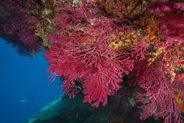 Gorgonian soft coral Paramuricea clavata underwater in the Mediterranean sea, Cap de Creus, Costa Brava, Spain