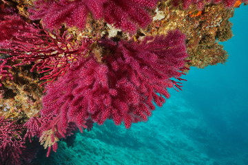 Red gorgonian soft coral, violescent sea-whip Paramuricea clavata, underwater in the Mediterranean sea, Cap de Creus, Costa Brava, Spain