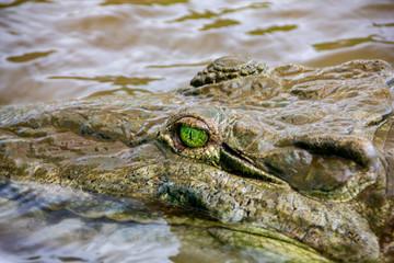 Printed roller blinds Crocodile Krokodil auf der Lauer in einem tropischen Fluss